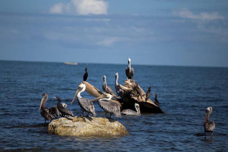 Las aves marinas se alimentan en un mar contaminado de basura de la que suelen alimentarse los peces que estas aves cazan. Según el estudio «La nueva economía de los plásticos» del Foro Económico Mundial y la Fundación Ellen MacArthur, «para 2050 habrá más plásticos que peces en los océanos a menos que la gente deje de utilizar artículos de un solo uso elaborados con este material, como las bolsas y las botellas». Omoa, Cortés, 29 de septiembre de 2020. Foto: Martín Cálix