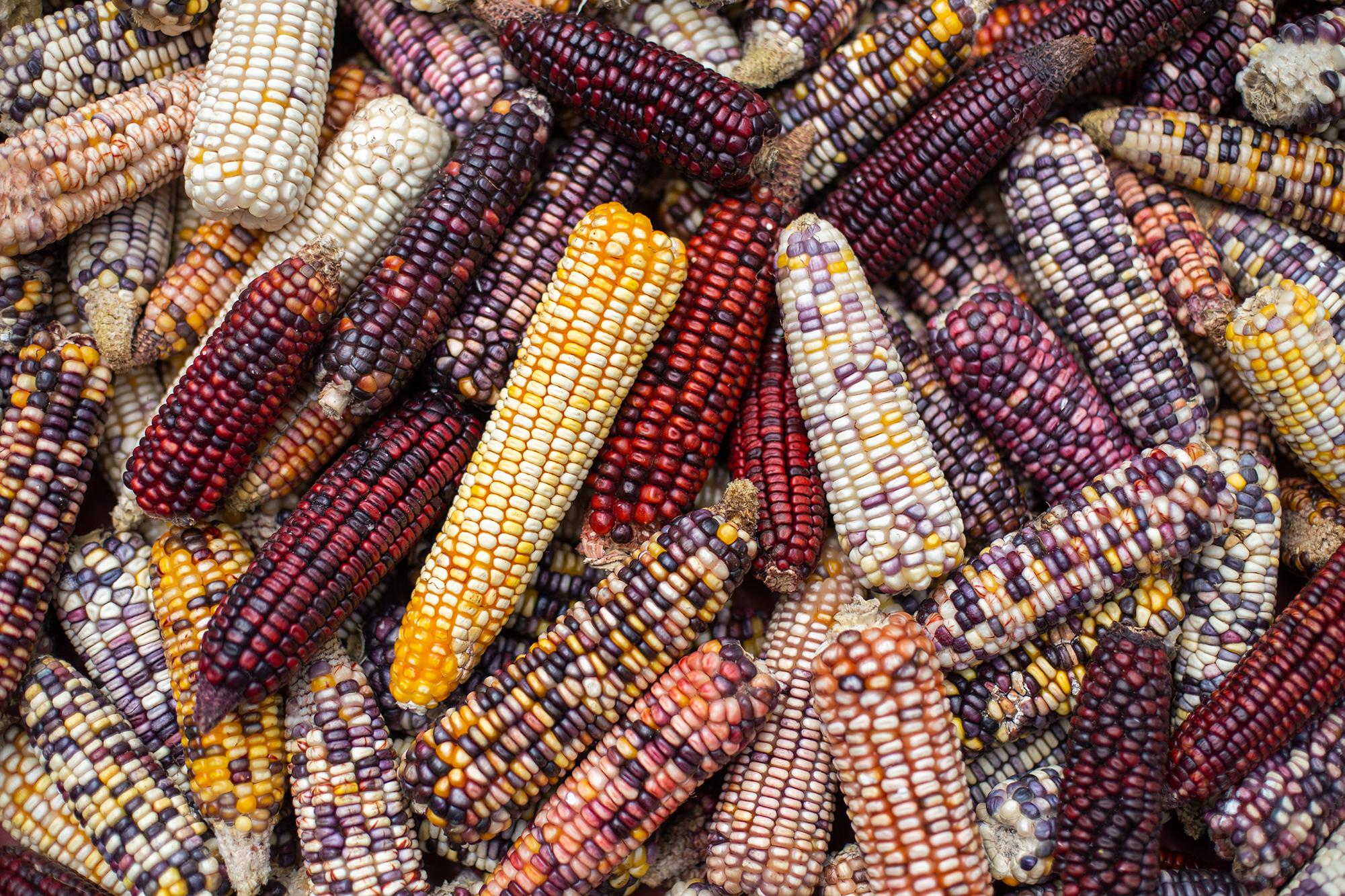 Maíz criollo cosechado en Santa Elena, departamento de La Paz. Esta variedad de maíz —muchas veces llamado «maíz de colores»— cada vez es más escaso por el avance de los productos transgénicos o las semillas mejoradas. San Elena, La Paz, 21 de octubre de 2020. Foto: Martín Cálix.