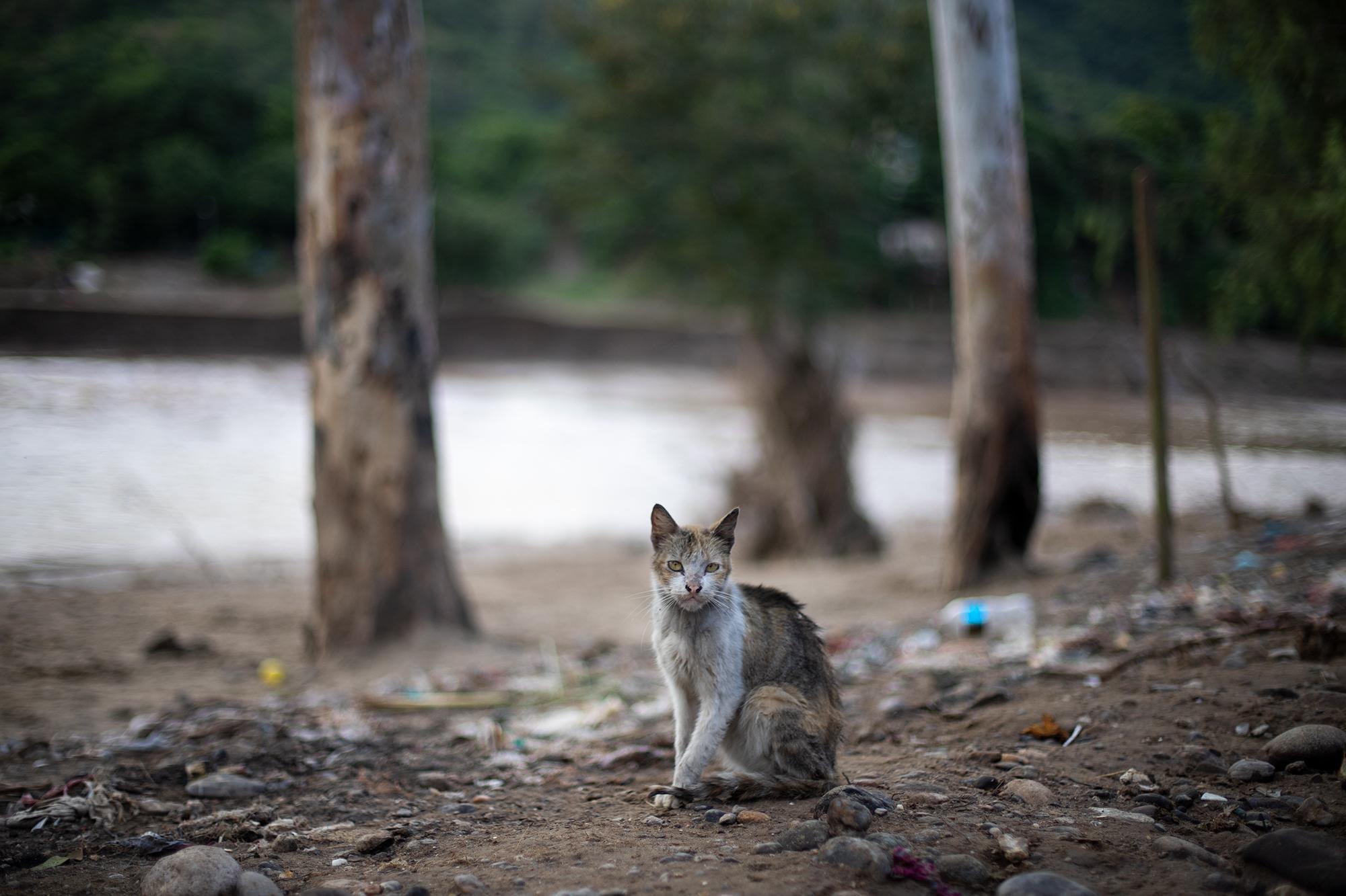 Animales como este gato fueron abandonados a su suerte durante las inundaciones en el sector de Chamelecón. San Pedro Sula, 20 de noviembre de 2020. Foto: Martín Cálix.