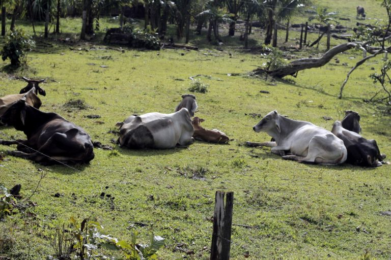 La ganadería es la principal actividad económica de El Rama