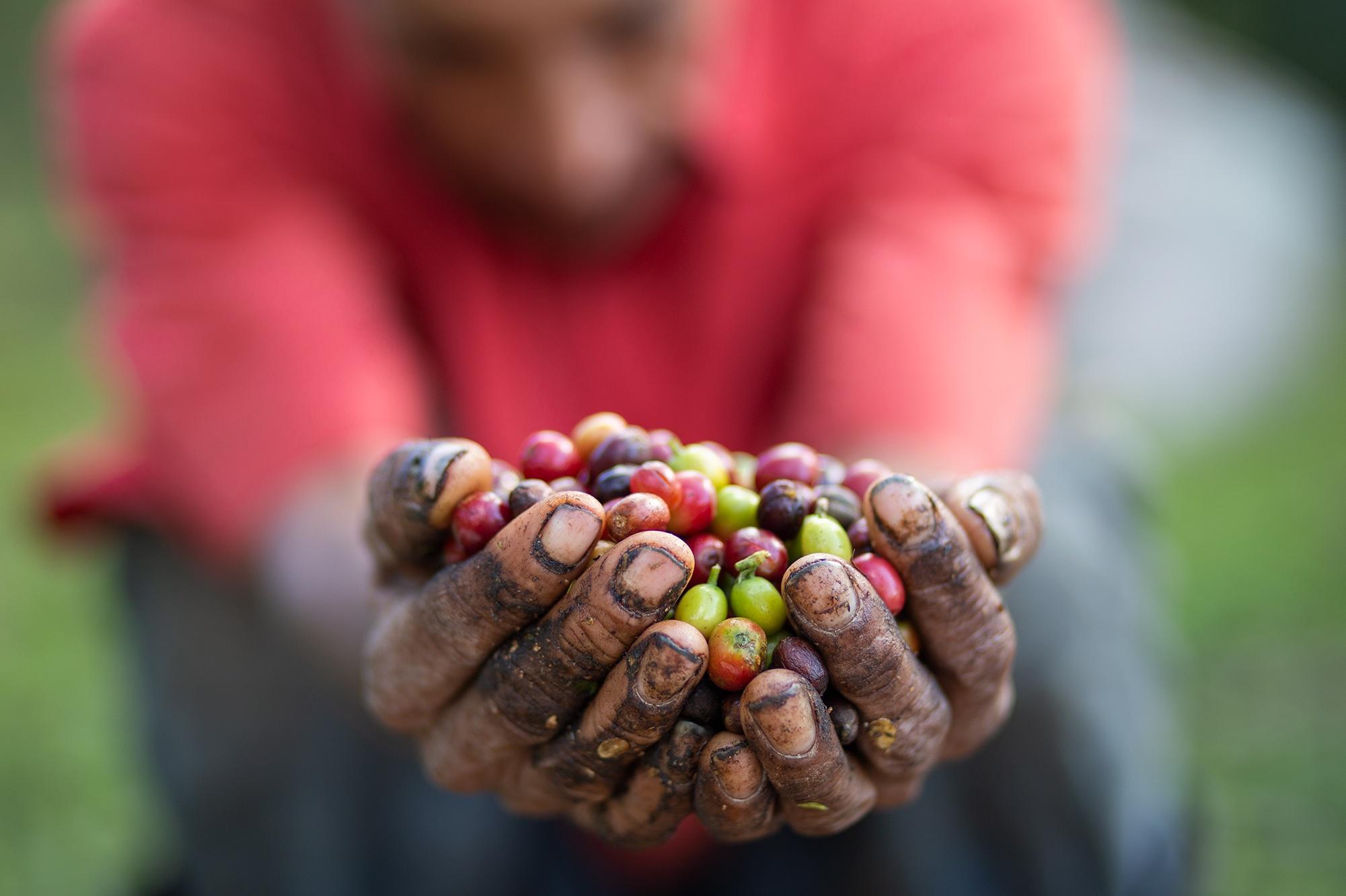 José María Rodríguez, de 60 años, muestra en sus manos una porción del fruto de café que selecciona. José, originario de la comunidad de La Flores, en el departamento de Lempira, trabaja cortando café desde los 15 años. Corquín, Copán, 25 de febrero de 2021. Foto: Martín Cálix.