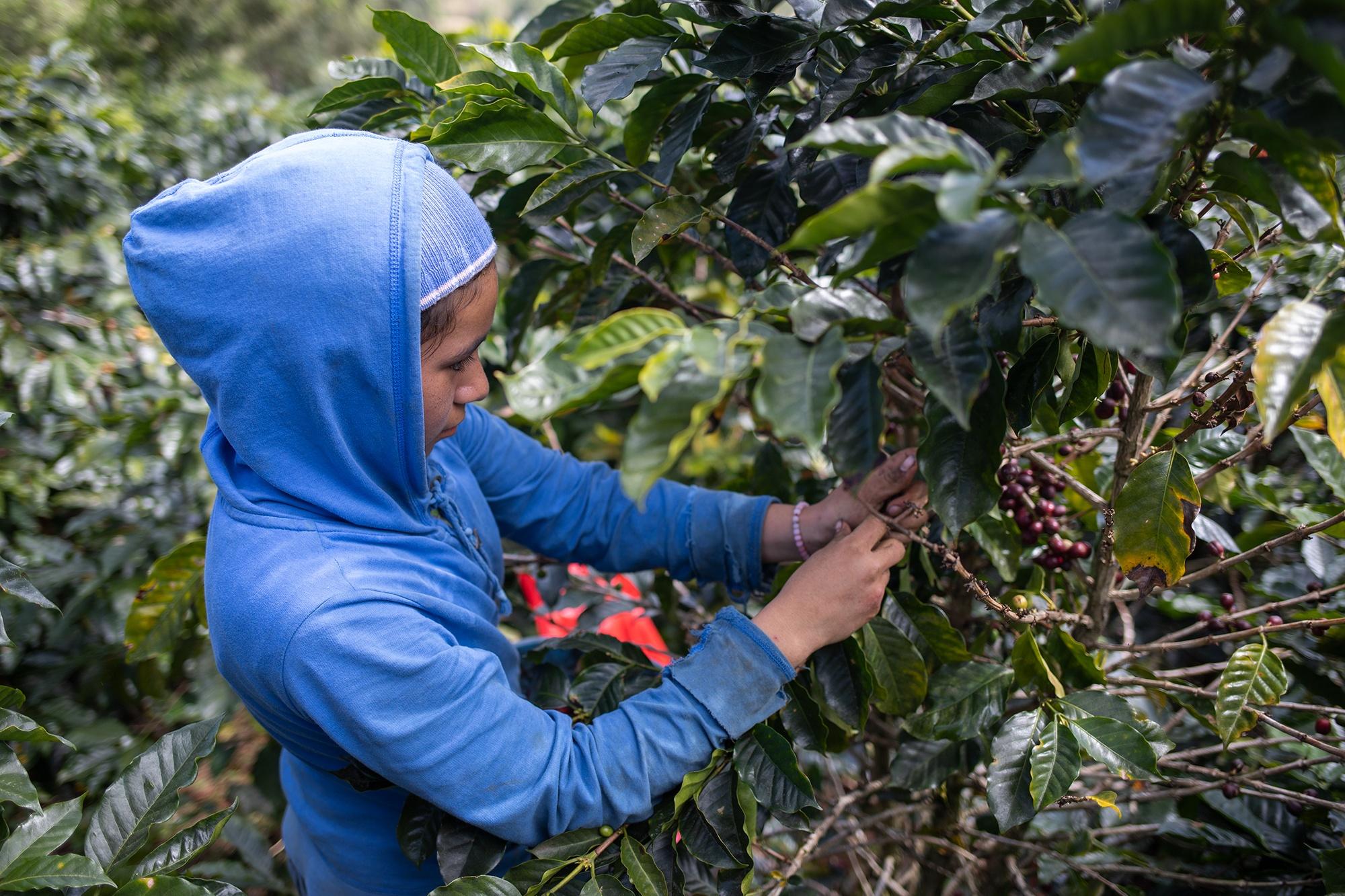 En las fincas de café se incorporan los niños a la cosecha junto a sus familias debido a las precarias condiciones de vida en sus comunidades. Corquín, Copán, 27 de febrero de 2021. Foto: Martín Cálix.