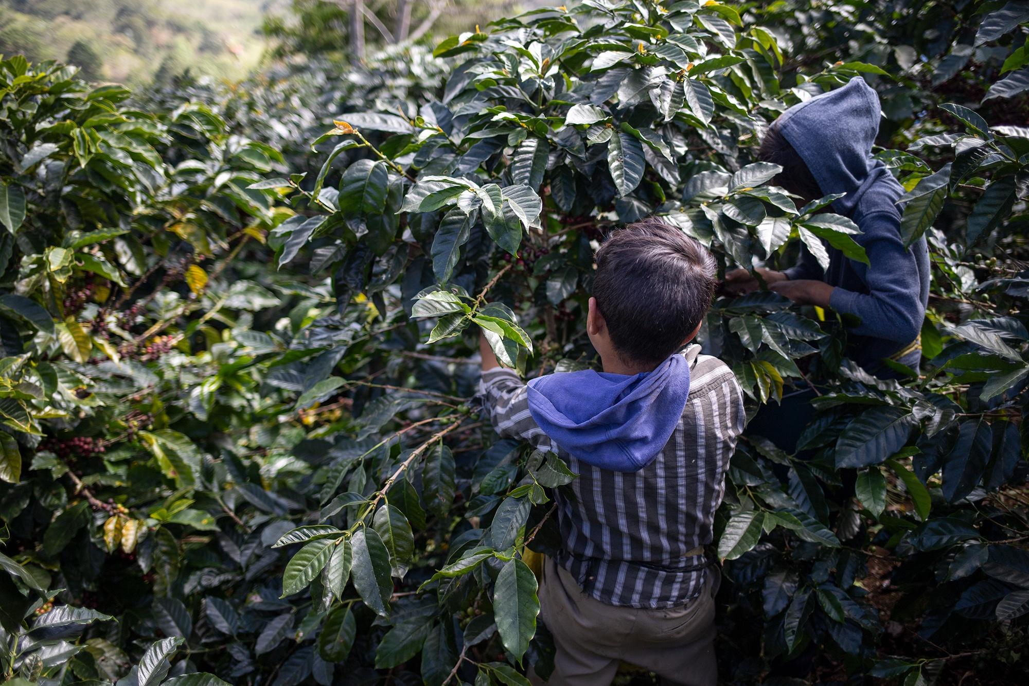 Nolvia y Kevin, de 10 años, trabajan cortando café con toda su familia. Corquín, 27 de febrero de 2021. Foto: Martín Cálix.