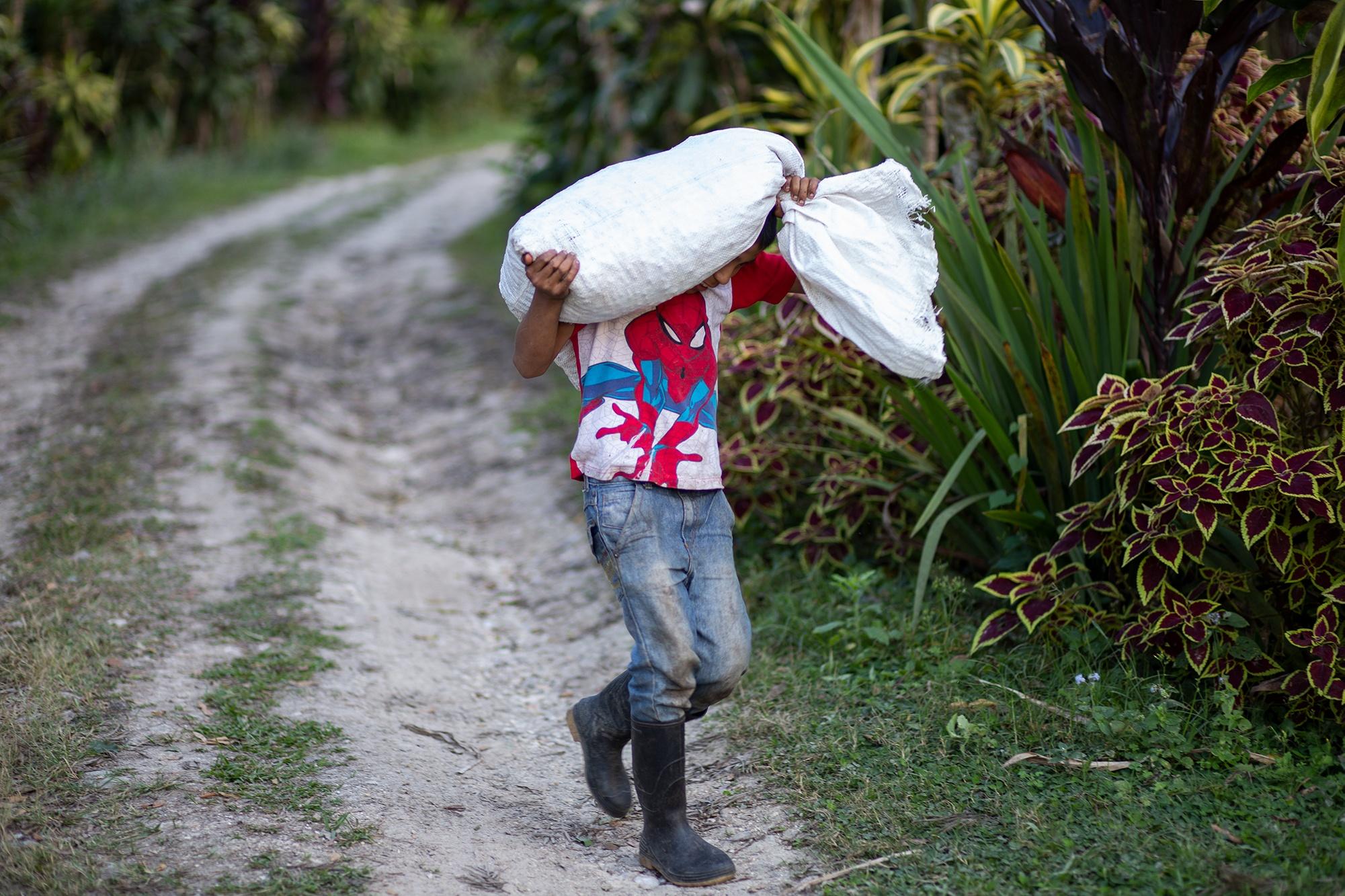 Ariel, de 12 años, originario de la comunidad de Belén, trabaja cortando y seleccionando café, tarea que suelen realizar los niños que se incorporan al corte en las plantaciones de café. Corquín, Copán, 25 de febrero de 2021. Foto: Martín Cálix.