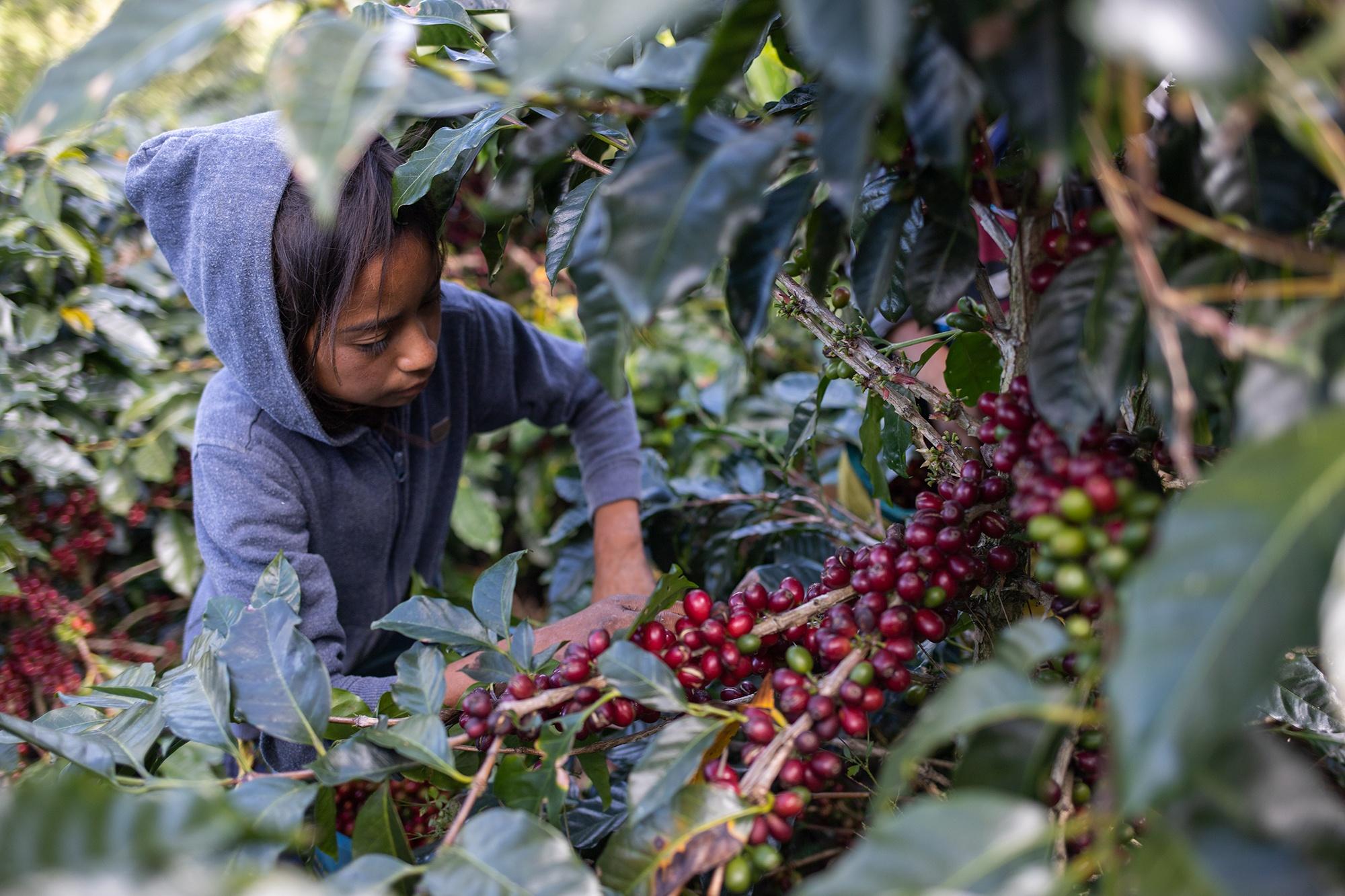 Nolvia, de 10 años, trabaja cosechando café junto a su familia. Corquín, Copán, 27 de febrero de 2021. Foto: Martín Cálix.