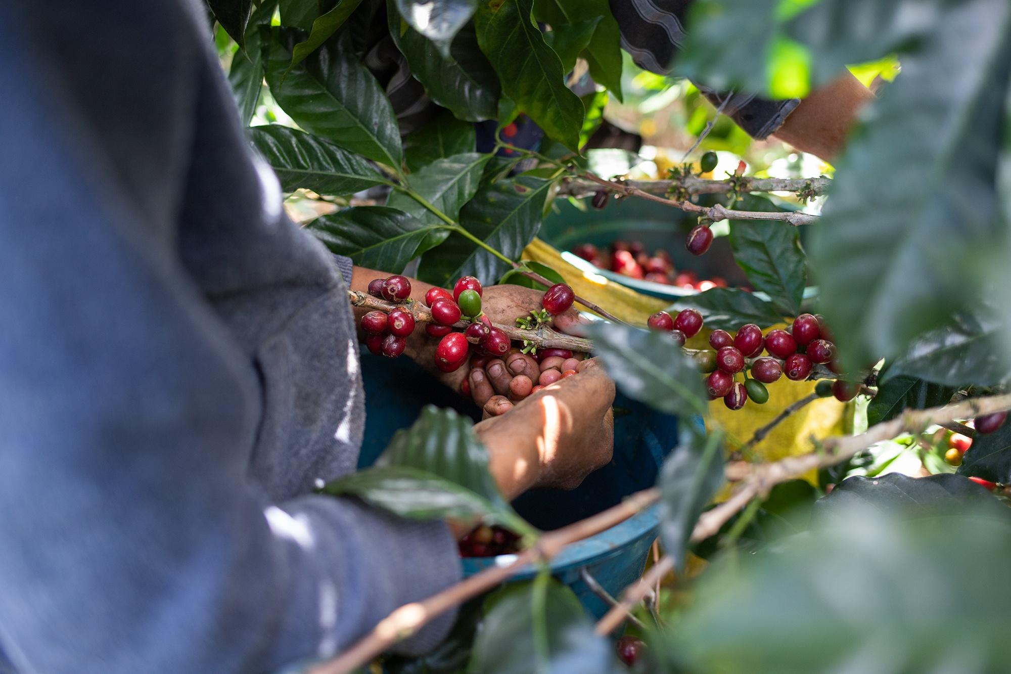En las plantaciones de café en las montañas de Copán, los niños que se incorporan a la cosecha obtienen el mismo salario que los adultos: 2.40 lempiras por libra de café en uva. Corquín, Copán, 27 de febrero de 2021. Foto: Martín Cálix.