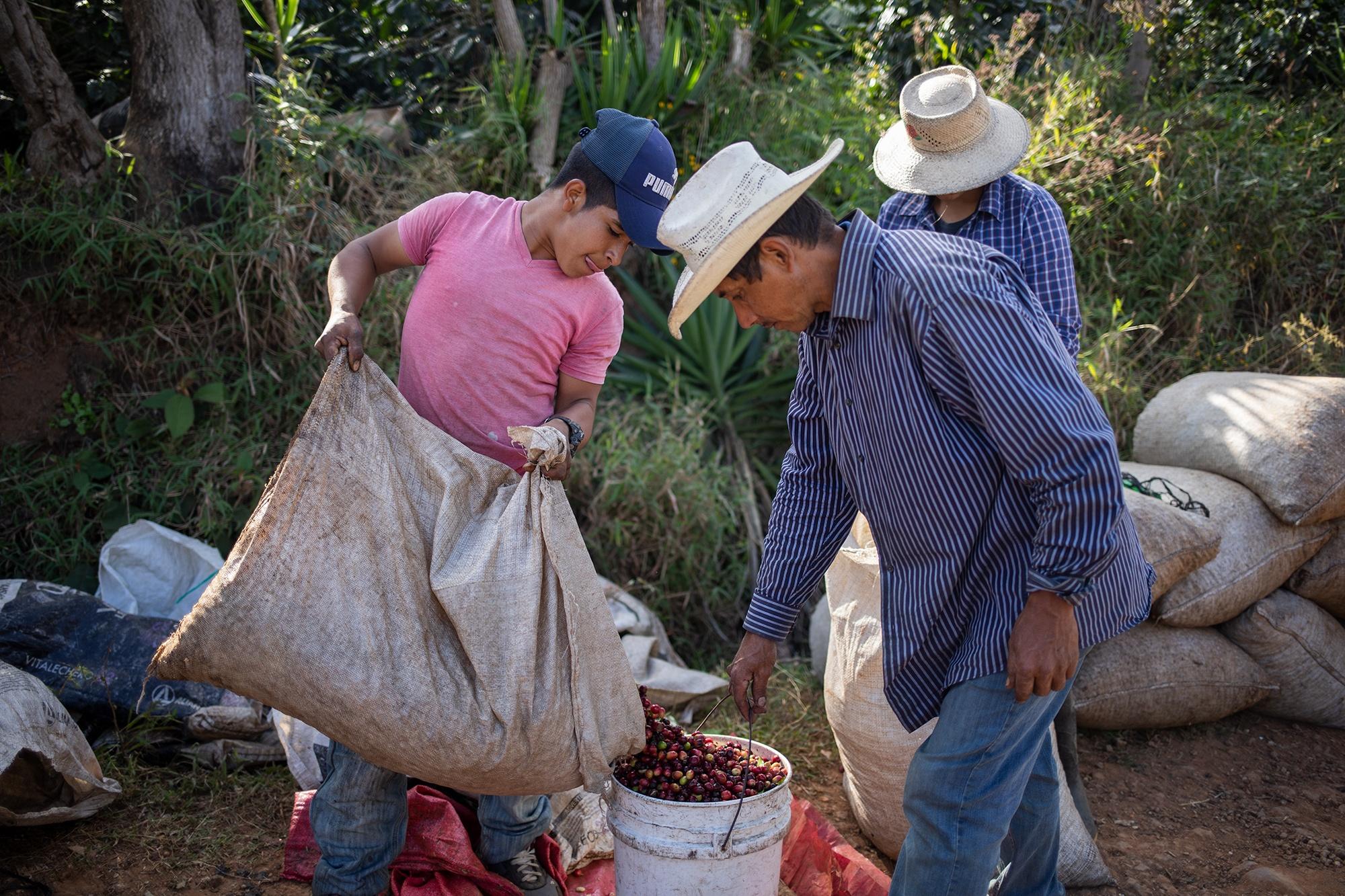 Wilson, de 14 años, mide lo cosechado al final del día. En la plantación de café donde trabaja junto a su familia, la jornada de trabajo comienza a las 7 a. m. y suele terminar a las 3 p. m., ganará 2.40 lempiras por libra de café en uva. Corquín, Copán, 26 de febrero de 2021. Foto: Martín Cálix.