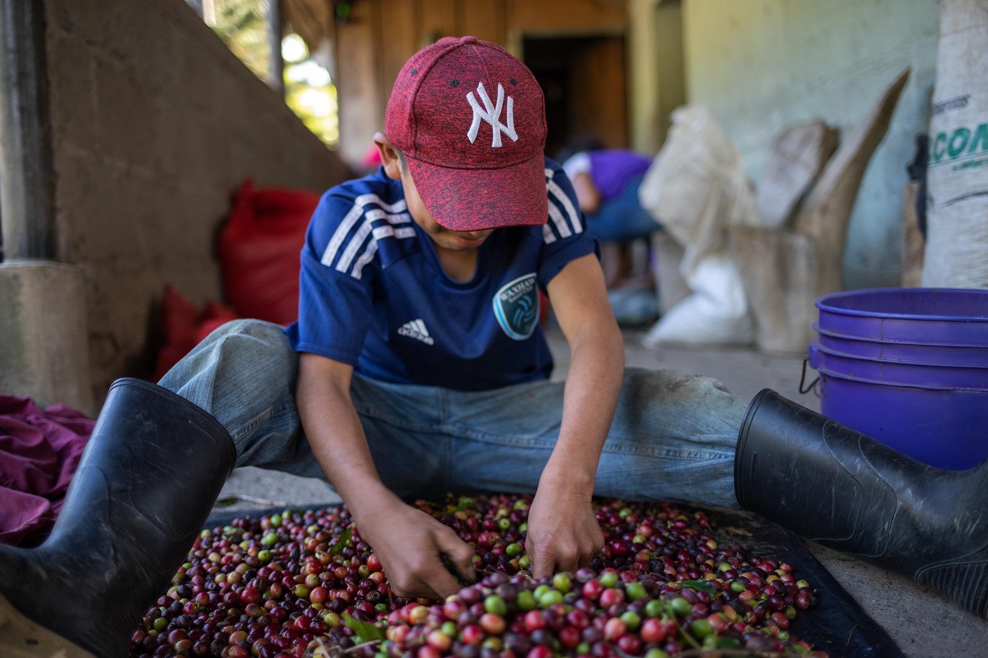 Un niño selecciona café en una finca de Corquín en el departamento de Copán. Su trabajo consiste en separar los granos maduros de los verdes. Corquín, Copán, 25 de febrero de 2021. Foto: Martín Cálix.