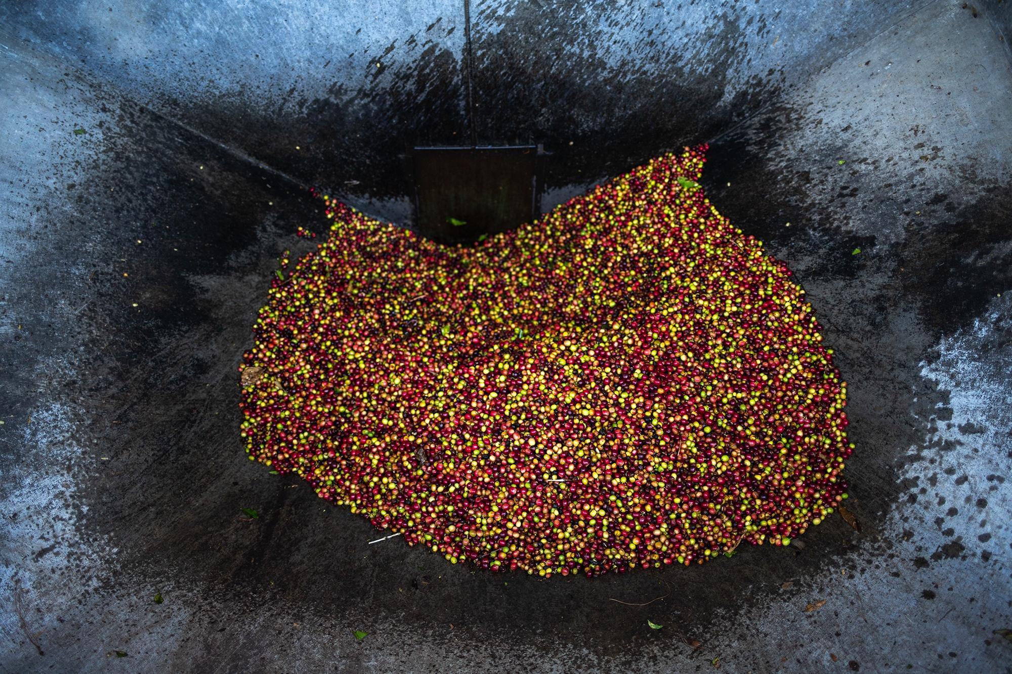 La fruta del café o uva —como se le conoce—, luego de ser cosechado y seleccionado pasa por una máquina que separa la pulpa del grano que luego irá a proceso de secado. La pulpa del café es usada como abono para la plantación local. Corquín, Copán, 25 de febrero de 2021. Foto: Martín Cálix.