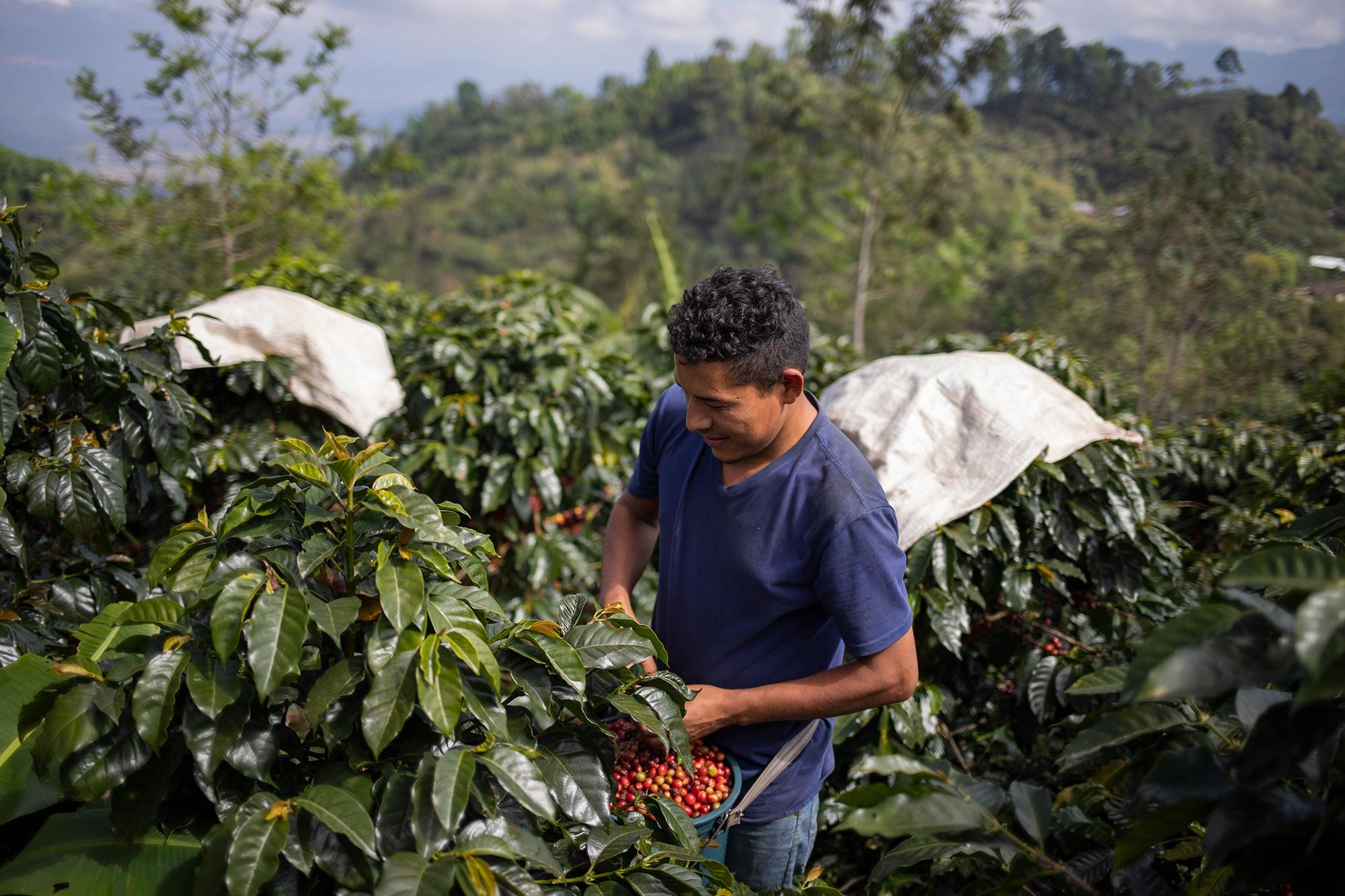 Marvin, de 28 años, trabaja cortando café desde los 12 años. Cuando el corte de café concluye se incorporará al corte de palma aceitera en el litoral atlántico. Corquín, Copán, 27 de febrero de 2021. Foto: Martín Cálix.