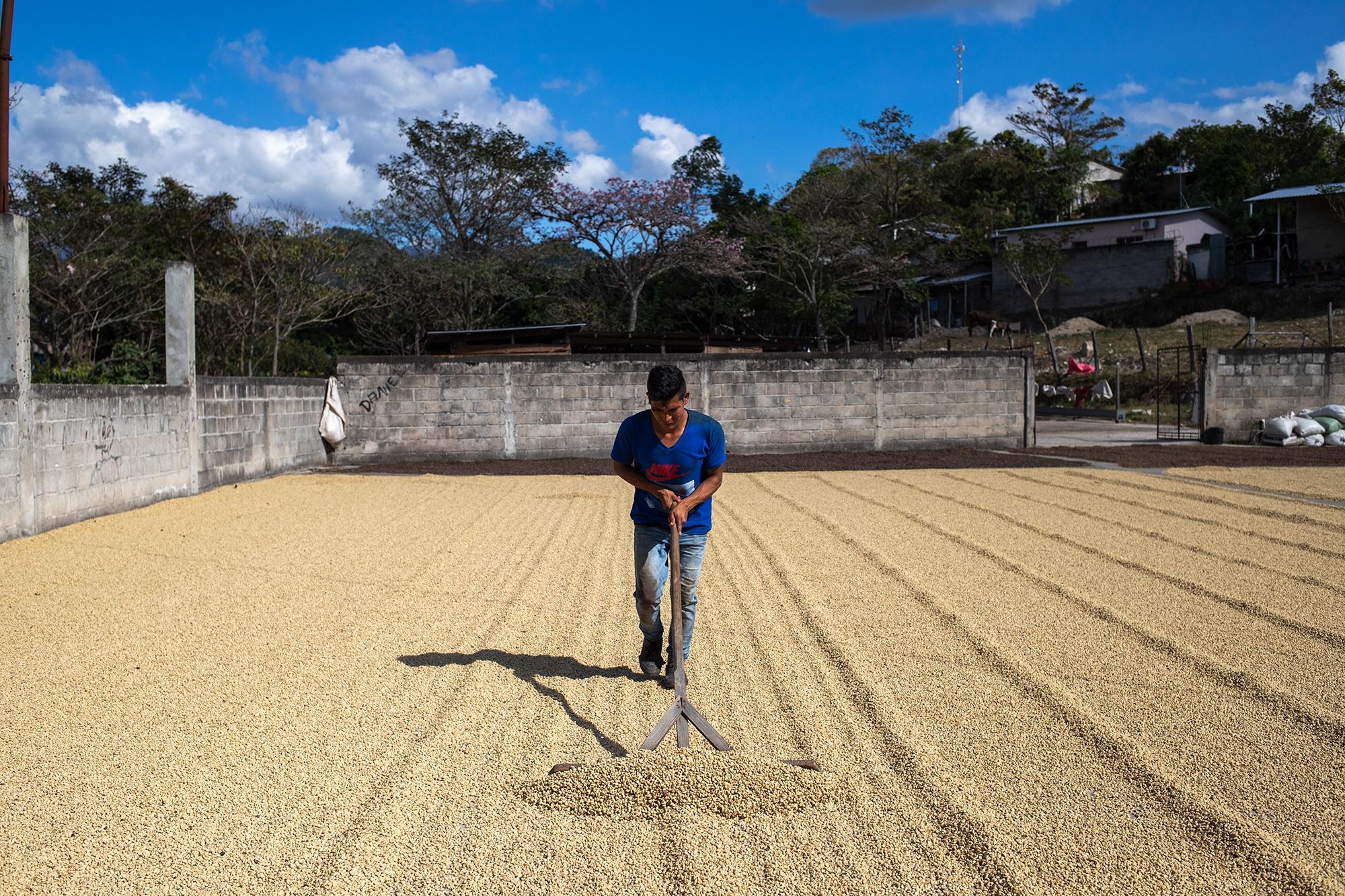 Un joven remueve el grano de café que se seca al sol, este proceso puede extenderse hasta dos semanas. Corquín, Copán, 25 de febrero de 2021. Foto: Martín Cálix.