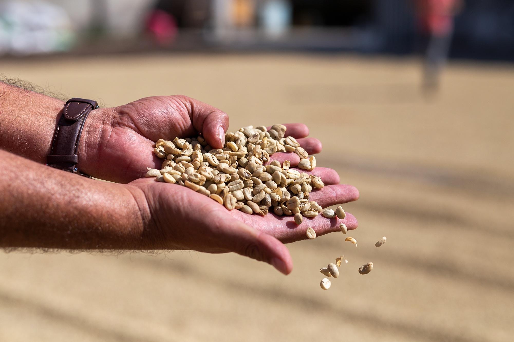 Un hombre muestra el grano de café durante el proceso de secado, donde el grano es removido constantemente hasta alcanzar el color dorado tradicional. Corquín, Copán, 25 de febrero de 2021. Foto: Martín Cálix.