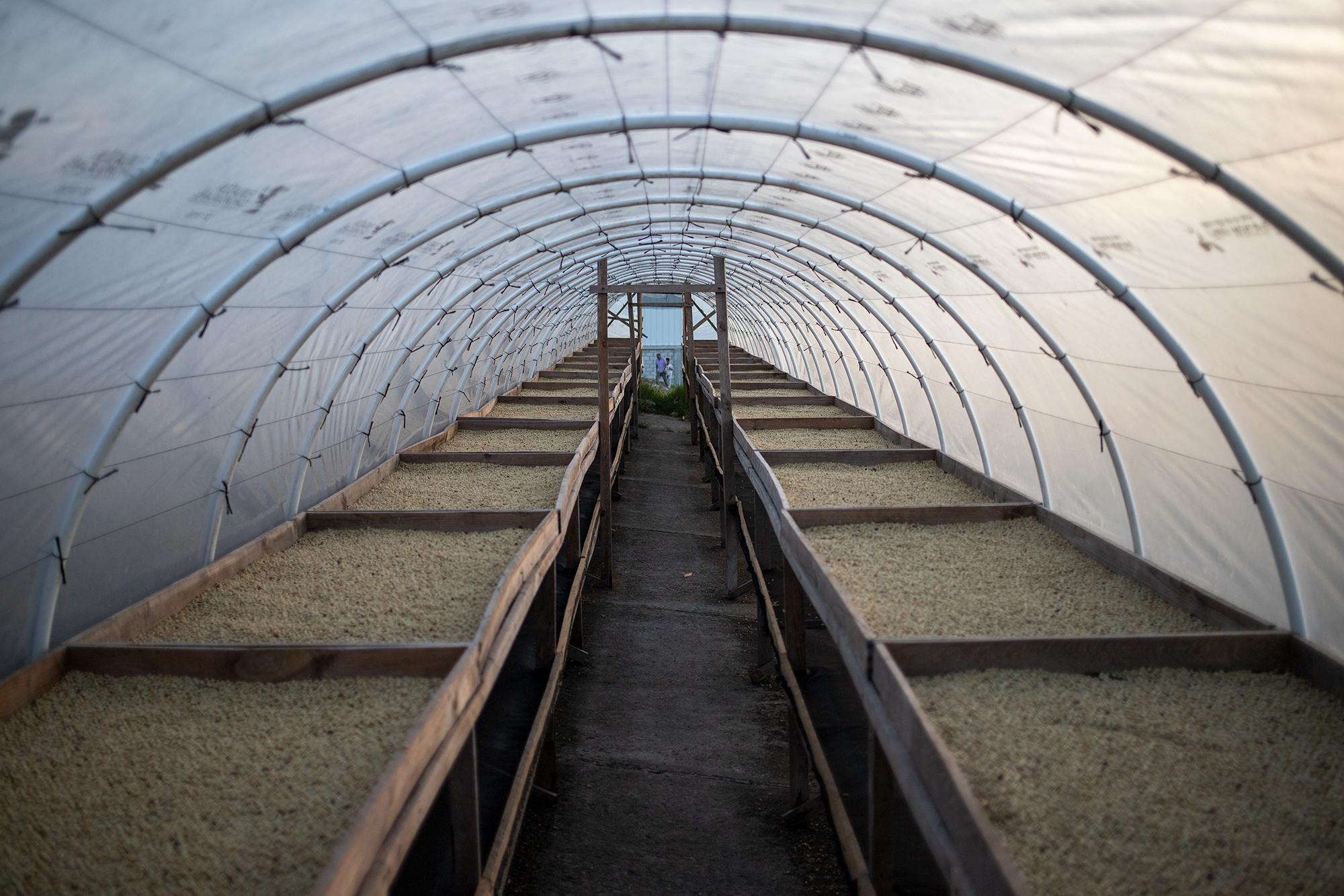 Una secadora solar de café construida con tubos PVC, plásticos, y recámaras internas construidas de madera. Las secadoras solares de café son una tecnología que ayuda a un  proceso más eficiente de secado del grano de café. Corquín, Copán, 27 de febrero de 2021. Foto: Martín Cálix.