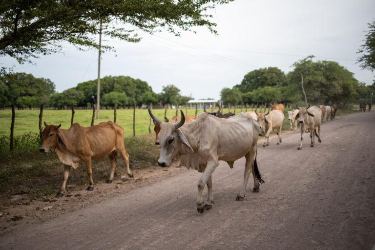 La ganadería es una de las actividades económicas de mayor sustento para la población de la zona sur del país. Alianza, Valle, 24 de julio de 2021. Foto: Martín Cálix.