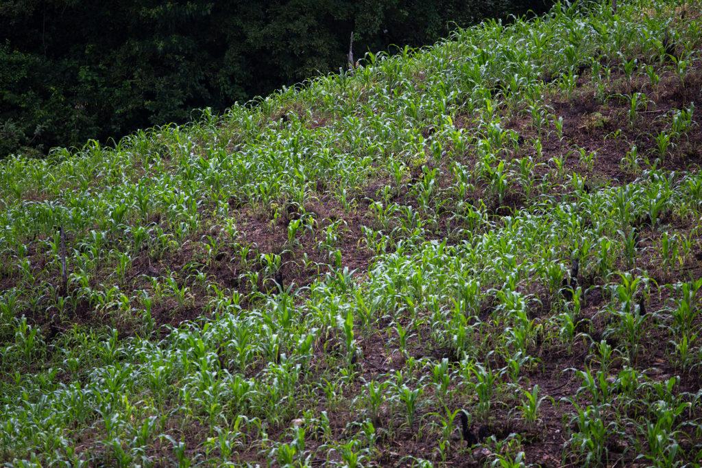 Debido a las restricciones impuestas por el gobierno hondureño en su intento por contener la pandemia de COVID-19, la incipiente economía agrícola de las comunidades de la cuenca del Goascorán y el Canal Seco, se ha convertido en economía de subsistencia. Aguanqueterique, 29 de agosto de 2020. Foto: Martín Cálix